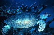 Photo of swimming turtle at twilight