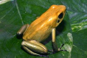 File:Phyllobates Bicolor 02.jpg