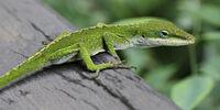 Polychrotidae