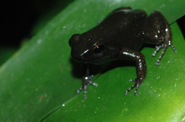File:Aromobates Nocturnus.jpg