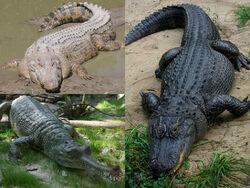 Crocodilia collage