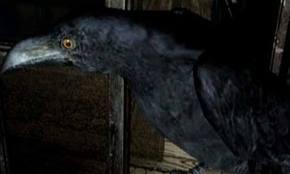 Datei:Crows.jpg