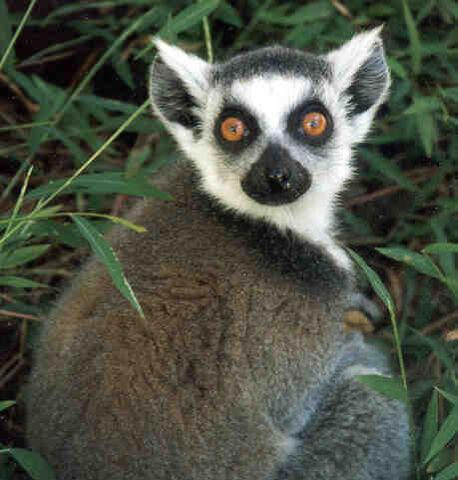File:Lemur3.jpg