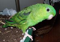 Bolborhynchus lineola -pet parrot