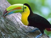 Windows 7 wallpaper - toucan