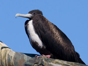 Magnificent-Frigatebird-Female