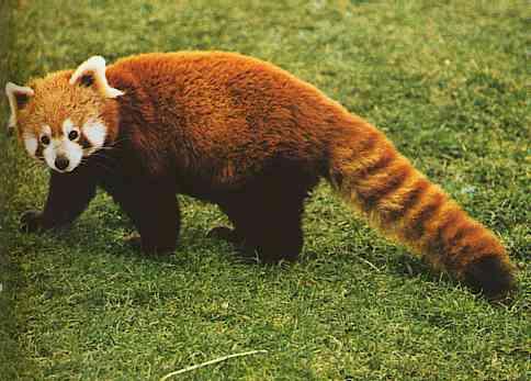 File:Red-Panda3.jpg