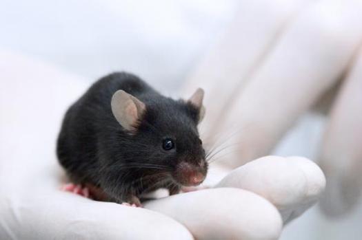 File:Mice hearing.jpg