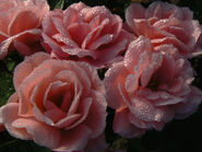 Pearly dewdrop roses.