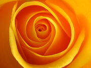 Yellow rose of friendship.jpg