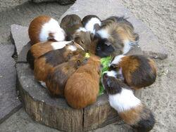 Porcuşori de guinea