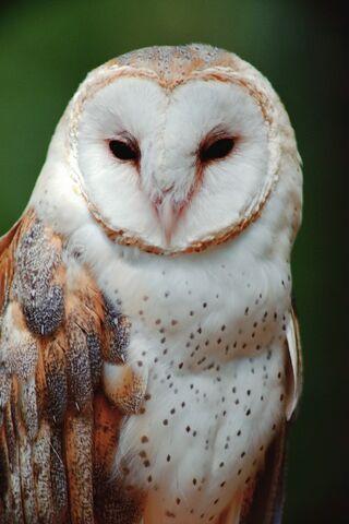 File:Wildlife barn owl.jpg