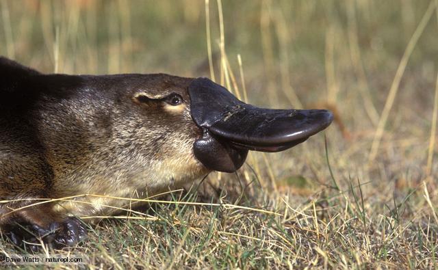 File:Platypus 1.jpg