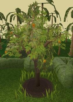 Orange tree 7