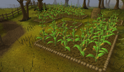 Runescape - Sweetcorn Patch
