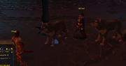 Hunt for Surok wolves