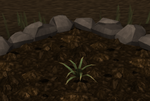 Pineapple plant 2