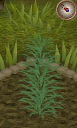 File:Rosemary3.png
