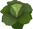 Cabbage (Draynor Manor)