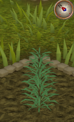 File:Rosemary2.png