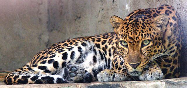 File:Indochinese leopard.jpg