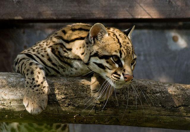 File:Ocelot Santago Leopard Project 2.jpg