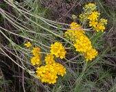 Eriophyllum confertiflorum 2004-04-07