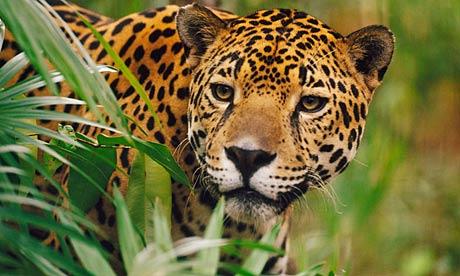 File:Jaguar5.png