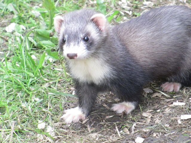 File:RileyTheFerret.JPG