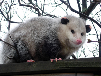 File:Opossum.jpg