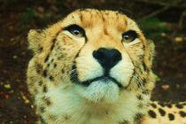 Cheetah-Face