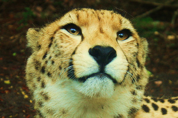 File:Cheetah-Face.jpg
