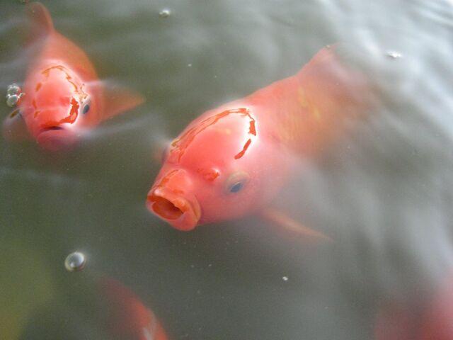 File:Goldfish.jpg