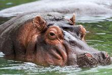 Hippo memphis