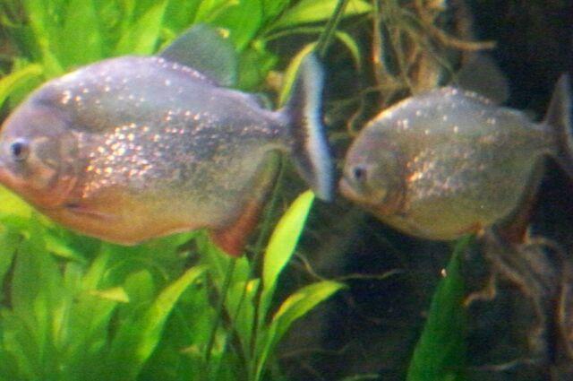 File:CAS-Aquarium-Piranha2.JPG
