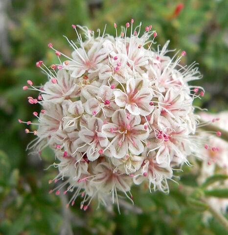 File:Eriogonum fasciculatum 5.jpg