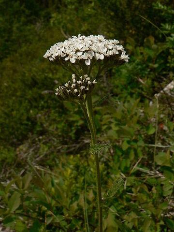 File:Achillea millefolium 15469.jpg