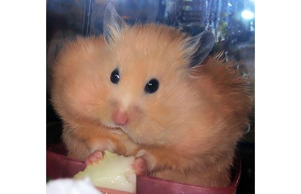 File:Hamster cheeks.jpg