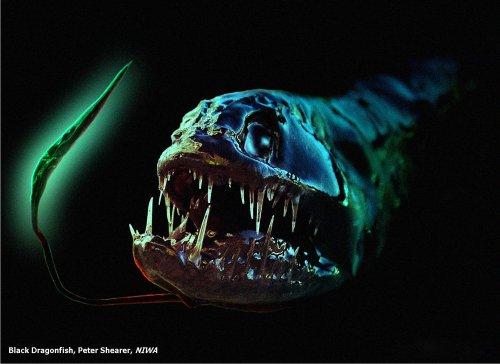 File:Dragonfish.jpg
