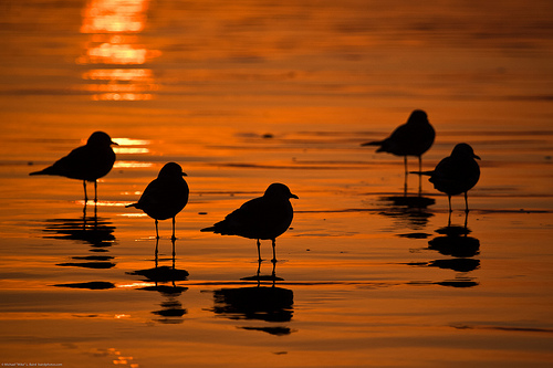 File:Flock of five Mew Gulls at sunset, shown in silhouette on the golden wet sand.jpg
