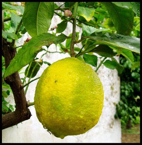 File:Limão.jpg
