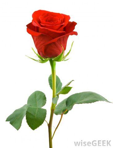 File:Red-rose.jpg