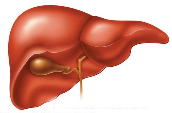 File:Liver.jpg
