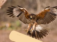 Hawkcicle fanart