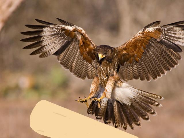File:Hawkcicle fanart.png