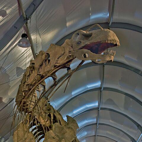 File:Argentinosaurus Skeleton Cropped.jpg