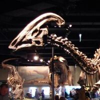 """Parasaurolophus (""""Near Crested Lizard"""")"""