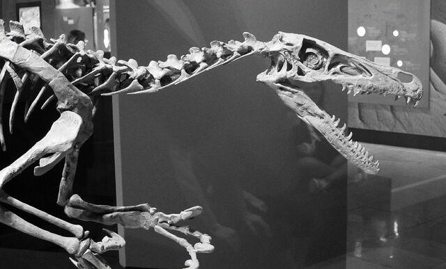 File:Velicoraptor skeleton.jpg