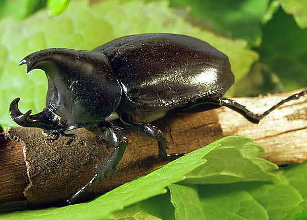 File:10. Rhinocerous Beetle (Strength).jpg