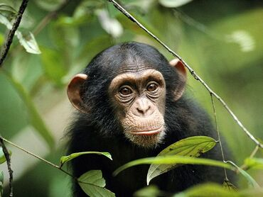 Young-chimp 763 600x450
